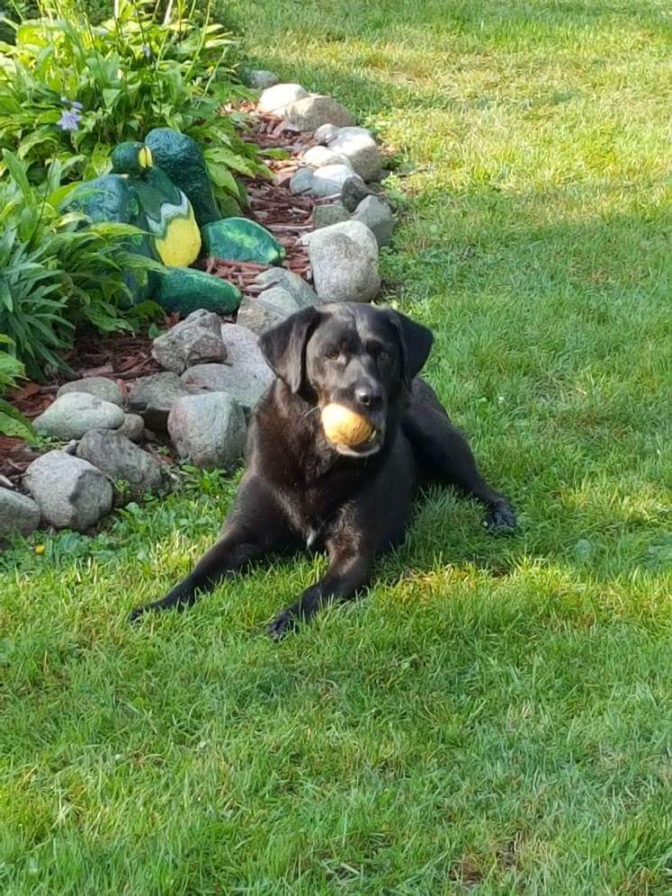 Black dog with a yellow ball in his mouth