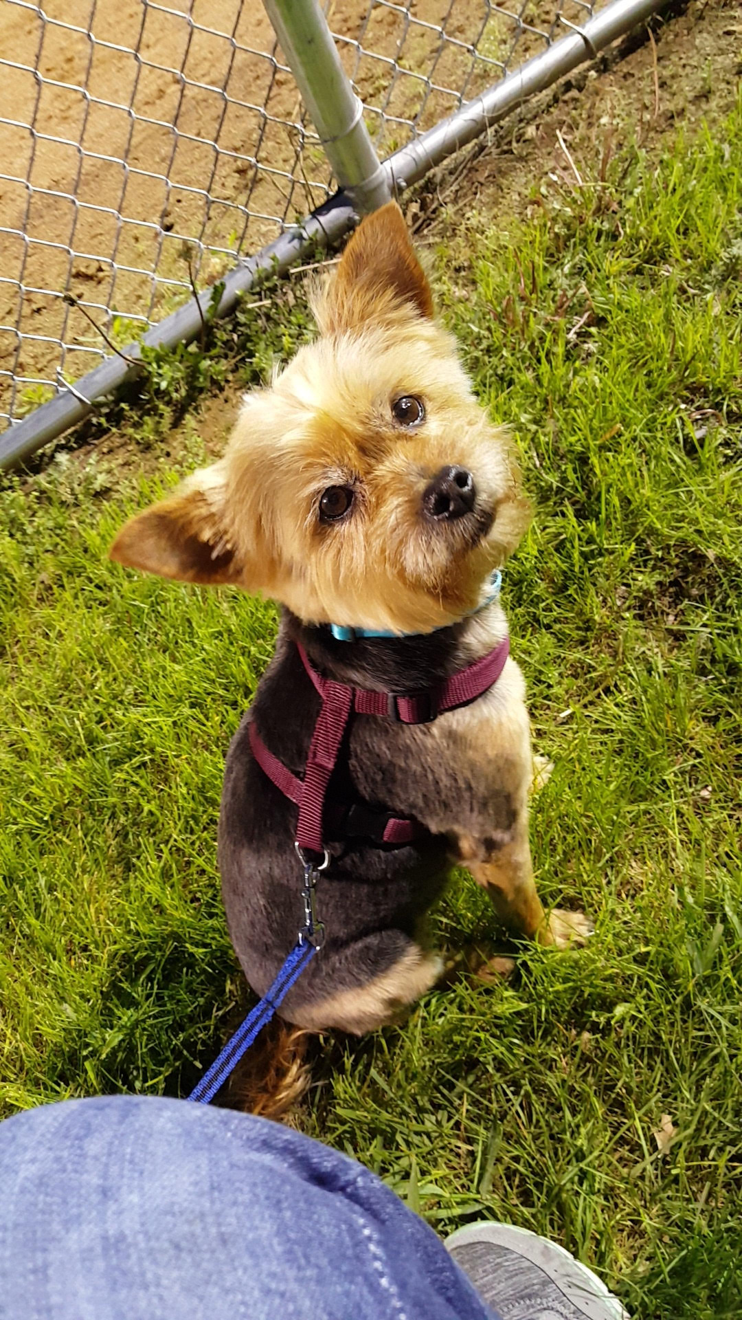 Yorkie sitting outside next to a fence looking up at its owner